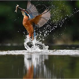 DIVING KINGFISHER  by Ita Martin - Animals Birds ( diving kingfisher )