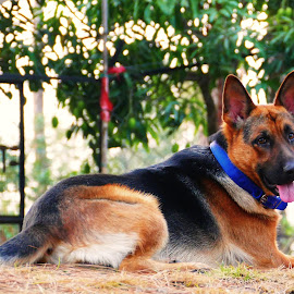 Rocket by Kanwar Rajneesh Singh - Animals - Dogs Portraits