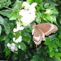 Canopus swallowtail