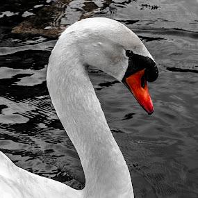 majestic swan by Tempo Cativo Paulo Borges - Animals Other ( lago, animals, majestic, majestic swan, swan, cisne, parque eduardo vii, majestoso, aninais, photography )