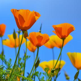 Icelandic poppies, Kew by Ian Harvey-Brown - Flowers Flower Gardens (  )