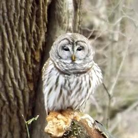 Barred Owl by Valerie Paree - Novices Only Wildlife