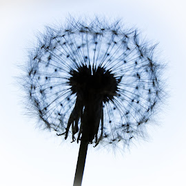 Dandelion silhouette by Cindy Bester - Nature Up Close Other plants ( dandelion, silhouette, nature up close, stem, garden )