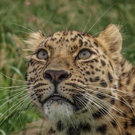 xizi by Garry Chisholm - Animals Lions, Tigers & Big Cats ( garry chisholm, nature, leopard, bigcat )
