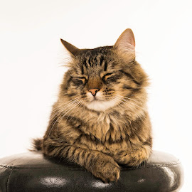 by Badescu Luminita - Animals - Cats Portraits