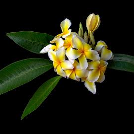 Plume by Mark Ritter - Flowers Single Flower ( floral, tropical, macro, plumeria, closeup, flora, flower )