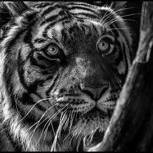 Tiger-89.jpg