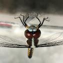 Blue Skimmer female