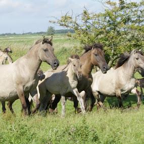 wild horses by Meint Woortman - Animals Horses
