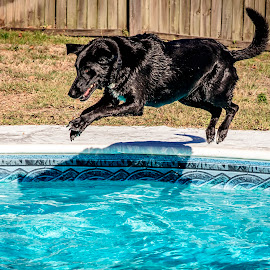 Black dog leaping into a pool by Debbie Quick - Animals - Dogs Playing ( debbie quick, jumping, florida, pinellas county, pool, having fun, canine, pet photography, debs creative images, water, k9, summer, swimming, animal photography, palm harbor, swimming pool, animal, playing, dog, pet,  )