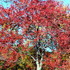 Turned red by Janet Smothers - Nature Up Close Trees & Bushes