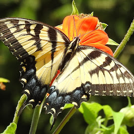 Swallowtail in macro by Mary Gallo - Animals Insects & Spiders ( tiger swallowtail, butterfly, nature, black and yellow and orange, insect, swallowtail, animal )