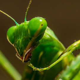 Maintenance by Ilan Abiri - Animals Insects & Spiders ( animals, macro, bugs, green, manatis, insects, close-up,  )