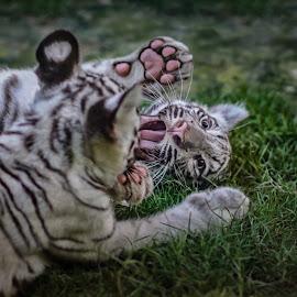 Tiger love tap by Mauritz Janeke - Animals Lions, Tigers & Big Cats ( toger, white tiger, siberian tiger, uae, mauritz, abu dhabi, bengal tiger )