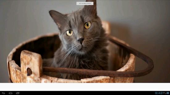 Nebelung Cats Wallpapers - screenshot