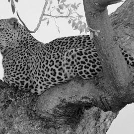 Leopard by Fanie van Vuuren - Black & White Animals
