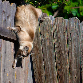 Jumping Off Fence by Karoner Gaming - Animals - Cats Playing ( jumping, cat, playing, fence, jump )