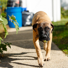 Rocky at 5 Months by Greg Bracco - Animals - Dogs Puppies ( breed, bullmastiff, dogs, greg bracco, pet, pets, american kennel club, bullmastiffs, akc, dog, purebread, greg bracco photography )