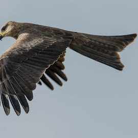 Black Kite by Kelly Gordon - Animals Birds ( birds of prey, animals, nature, wildlife, birds,  )