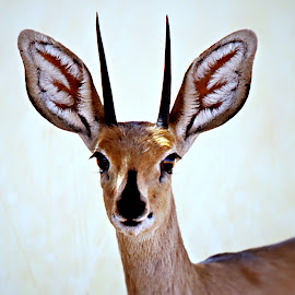 Steenbok with award winning horns  by Pieter J de Villiers - Animals Other