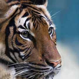 Tiger beauty by Mikaela Friberg - Animals Lions, Tigers & Big Cats ( cat, wild life, tiger, cute, portrait, eyes, animal,  )