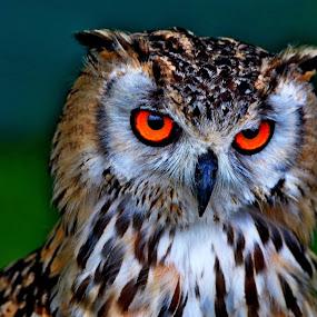 Bengal   Eagle  owl by Gordon Simpson - Animals Birds