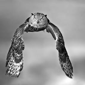 Owl by Stefano Ronchi - Black & White Animals