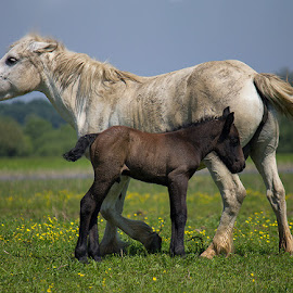by Jasenka LV - Animals Horses (  )