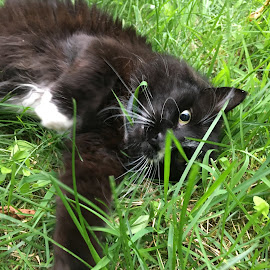Cat Hiding in the Grass by Kristine Nicholas - Novices Only Pets ( cat, kitten, grass, black and white, green, tuxedo cat, eyes, cats, black and white cat, tuxedo, pet, pets, feline, kitty, black )
