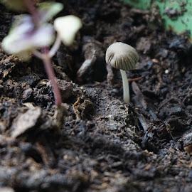 Little Guy by Terrance King - Nature Up Close Mushrooms & Fungi ( plant, mushroom, fungi, cap, stem, pot, soil,  )