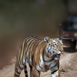 Maya... by Sunil Manikkath - Animals Lions, Tigers & Big Cats