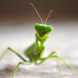 Mantis by Swapnil Bhade - Animals Insects & Spiders ( beautiful, mantis, animal,  )