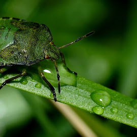 Green Shieldbug Nymph by Pat Somers - Animals Insects & Spiders