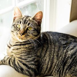 Cat by Scott Carver - Animals - Cats Portraits ( cats, cat face, cat, cat eyes, cat portrait )