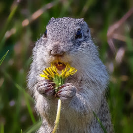 Ground Squirrel by Dave Lipchen - Animals Other Mammals ( ground squirrel )