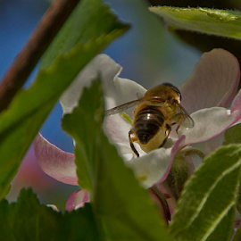 Apple Blossom and Bee by Elise Northfield - Nature Up Close Other Natural Objects ( apple blossom, bee, apple, flower, blossom,  )