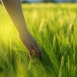 Hand touching crops in field by Grigor  Ivanov - Nature Up Close Other plants ( countryside, person, cornfield, yellow, leaf, crop, farmer, nature, woman, bread, industry, agriculture, sunlight, rural, country, environment, season, touch, outdoors, cultivated, natural, golden, raw, plant, concept, landscape, spring, corn, sun, farm, hand, sunny, closeup, wheat, green, seed, relaxation, morning, agricultural, farming, field, barley, outdoor, grow, background, grain, summer, healthy, sunrise, harvest )