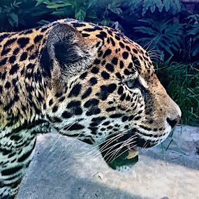 Majestic Jaguar by Charline Ratcliff - Animals Lions, Tigers & Big Cats ( jaguar, big cat, cat, nature, animal,  )