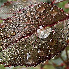 Summer Tears by Marija Jilek - Nature Up Close Leaves & Grasses