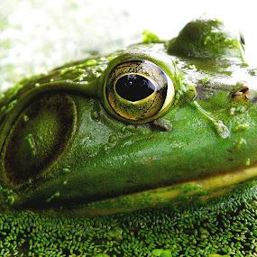 Bullfrog II by Griffin Harris - Animals Amphibians ( catesbiena, macro, bullfrog, frog, amphibian, griffinh, rana )