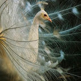 by Nicolaie Subotin - Animals Birds ( bird,  )