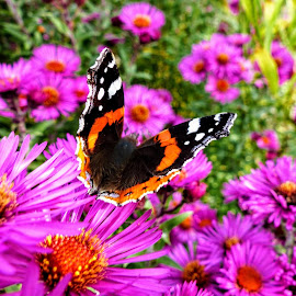 Red Admiral Butterfly  by Ian Popple - Animals Insects & Spiders ( butterfly, colourful, beautiful, air, summertime )