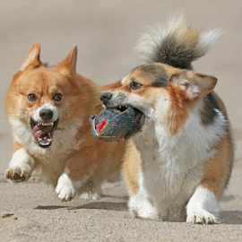 Fat chance by Mia Ikonen - Animals - Dogs Playing ( action, pembroke welsh corgi, finland, fun, expressive )