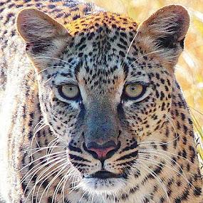 Leopard by Johann Fouche - Animals Lions, Tigers & Big Cats ( big cat, predator, big 5, leopard )
