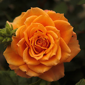 Yellow rose. by Kelly Williams - Nature Up Close Flowers - 2011-2013 ( rose, green, beautiful, yellow, beauty, leaves, garden )