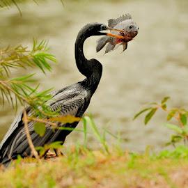 I'm hungry! by Bencik Juraj - Animals Birds ( bird, fish, hunting, water bird, birding )
