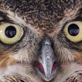 Whoooo! by Betty Arnold - Animals Birds ( bird, owl, owl stare, great horned owl, animal,  )