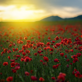 Poppy field at sunset by Grigor  Ivanov - Landscapes Sunsets & Sunrises ( countryside, yellow, sky, nature, poppies, light, flower, grass, dream, agriculture, horizon, sunlight, rural, country, dawn, environment, season, outdoors, scene, view, natural, floral, colorful, vivid, land, beauty, landscape, spring, sun, blossom, sunny, dramatic, colored, evening, clouds, green, beautiful, cloudscape, poppy, field, red, color, sunset, background, outdoor, meadow, cloud, summer, freshness, sunrise )