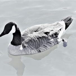 Canada Goose  by Linda    L Tatler - Black & White Animals