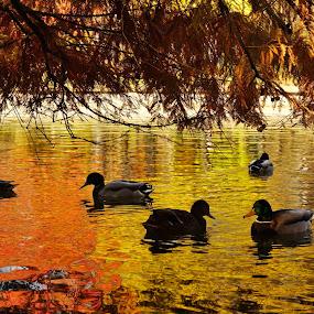 Ducks on the lake by Nicu Buculei - Animals Birds ( autumn, fall, ducks, lake, birds,  )